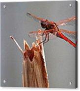 Dragon Fly- Br Acrylic Print