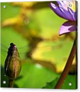 Dragon Fly On Bud And Water Lily Horizontal Number One Acrylic Print