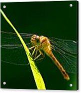 Dragon Fly On Grass Acrylic Print