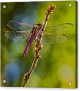 Dragon Fly Or Not Acrylic Print