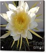 Dragon Fruit Bloom In The Morning Acrylic Print