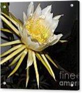 Dragon Fruit Blossom II Acrylic Print