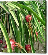 Dragon Fruit Tree Acrylic Print