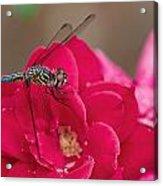 Dragon In The Rose Garden Acrylic Print