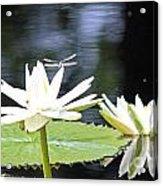 Dragon Lily 3  Acrylic Print