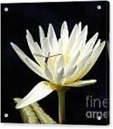 Dragon Lily  Acrylic Print