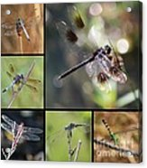 Dragonflies On Twigs Collage Acrylic Print