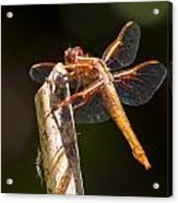 Dragonfly 1 Acrylic Print by Scott Gould