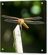 Dragonfly 2 Acrylic Print by Scott Gould