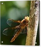 Dragonfly 5 Acrylic Print by Scott Gould