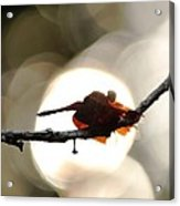 Dragonfly Bathing In Sunset Acrylic Print