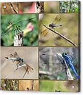 Dragonfly Collage 3 Acrylic Print