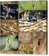 Dragonfly Collage Acrylic Print