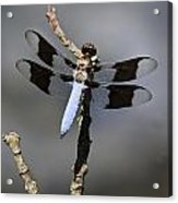 Dragonfly Common Whitetail Acrylic Print
