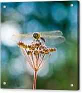 Dragonfly Delight Acrylic Print