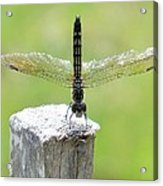 Dragonfly Doing A Handstand Acrylic Print