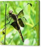 Dragonfly Female Widow Skimmer Acrylic Print