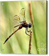 Dragonfly Gold Acrylic Print