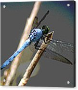 Dragonfly - Great Blue Skimmer Acrylic Print