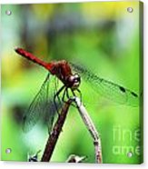 Dragonfly Hard At Work Acrylic Print