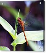 Dragonfly Hunt Acrylic Print