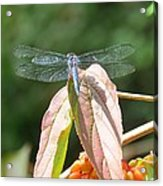 Dragonfly In Early Autumn Acrylic Print