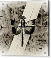 Dragonfly In Sepia Acrylic Print