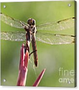 Dragonfly Macro On Top Of A Flowering Plant Acrylic Print