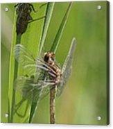 Dragonfly Metamorphosis - Eleventh In Series Acrylic Print