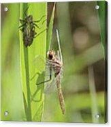 Dragonfly Metamorphosis - Tenth In Series Acrylic Print