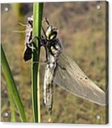 Dragonfly Newly Emerged - Second In Series Acrylic Print