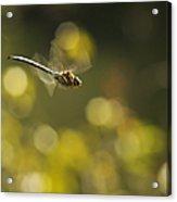 Dragonfly No 2 Acrylic Print