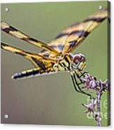 The Halloween Pennant Dragonfly Acrylic Print