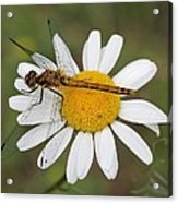 Dragonfly On A Daisy Acrylic Print