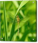 Dragonfly On A Grass Stem Acrylic Print