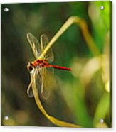 Dragonfly On A Summer Day Acrylic Print