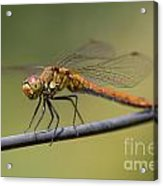 Dragonfly On A Wire Acrylic Print