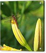 Dragonfly On Bud Acrylic Print