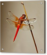Dragonfly On Dead Reed Acrylic Print