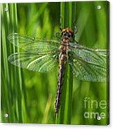 Dragonfly On Grass Acrylic Print