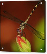 Dragonfly On Hibiscus Acrylic Print