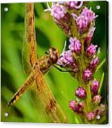 Dragonfly On Liatris Acrylic Print