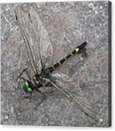 Dragonfly On Rock Acrylic Print