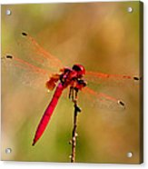 Dragonfly Paintings Acrylic Print