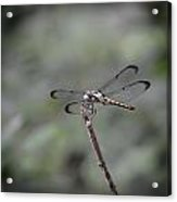 Dragonfly Perched Acrylic Print