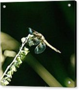 Dragonfly Resting In The Wind  Acrylic Print