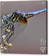 Dragonfly Stance Acrylic Print