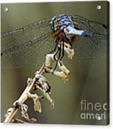 Dragonfly Wing Details Acrylic Print