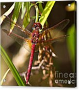 Dragonfly Wings Acrylic Print
