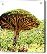 Dragon's Blood Tree 2 Acrylic Print
